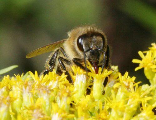 Alla Rolls-Royce lavorano solo le 250 mila api, ma il miele è da ricchi